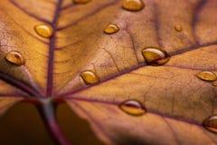 秋天叶子特写镜头视图用水下降 库存照片
