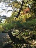秋天叶子由路的杉树 库存图片