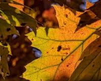 秋天叶子的明亮的颜色 免版税库存图片