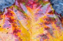 秋天叶子的明亮的黄色伯根地纹理 多彩多姿的叶子 湿的叶子 免版税库存照片