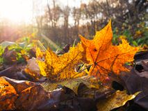 秋天叶子的纹理 免版税图库摄影