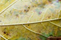 秋天叶子的结构和毛孔 详述秋天叶子 图库摄影
