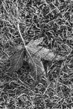 秋天叶子的黑白照片在草背景的 库存图片
