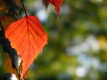 秋天叶子红色 库存照片