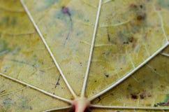 秋天叶子结构 秋天叶子的特写镜头 免版税库存图片
