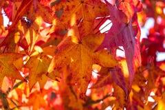 秋天叶子背景 留下槭树红色结构树 库存照片