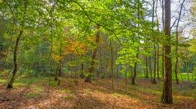 秋天叶子颜色在一个森林里在阳光下 库存照片