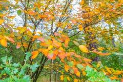 秋天叶子颜色在一个森林里在阳光下 免版税图库摄影