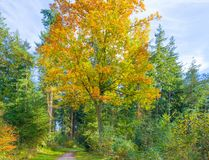 秋天叶子颜色在一个森林里在阳光下 图库摄影