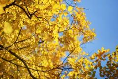 秋天叶子黄色 免版税库存图片