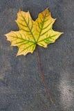 秋天叶子,绿色,黄色和橙色颜色,隔绝在黑暗的铈 免版税库存图片