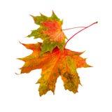 秋天叶子 在白色背景隔绝的两片槭树叶子 库存图片