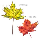 秋天叶子-挪威和糖槭 秋天在一个空白背景查出的枫叶 额嘴装饰飞行例证图象其纸部分燕子水彩 库存照片