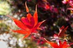 秋天叶子-精采红色 库存图片