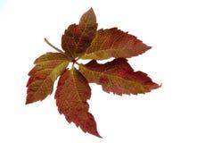秋天叶子 免版税库存照片