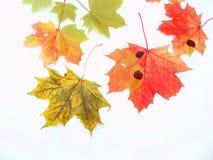 秋天叶子 免版税库存图片