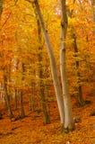 秋天叶茂盛森林 库存图片