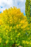 秋天和叶子秋天 黄色叶子背景纹理  秋天背景由后照的分行明亮的颜色金黄叶子留给槭树橙红星期日结构树黄色 免版税图库摄影