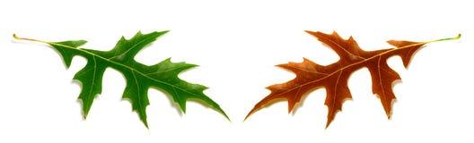 秋天和春天在丝毫(栎属palustris)隔绝的橡木叶子 免版税库存照片