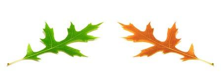 秋天和春天橡木叶子(栎属palustris) 库存图片