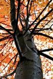 秋天唯一结构树 免版税图库摄影
