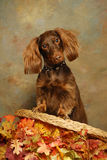 秋天回到椅子达克斯猎犬叶子 免版税图库摄影