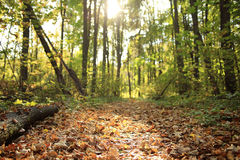 秋天在一个金黄森林里 免版税库存图片