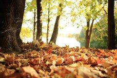 秋天在一个金黄森林里 免版税图库摄影