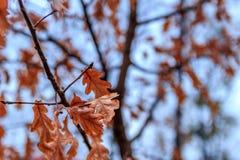 秋天在与蓝天的一个分支生叶作为背景 免版税库存图片