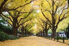 秋天在东京与银杏树在地面上的树秋天黄色叶子  库存照片