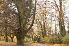 秋天在公园 金黄结构树 Parc阿斯特丽德,安德莱赫特,比利时 免版税图库摄影