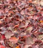 秋天在土地的山毛榉树叶子。 免版税图库摄影