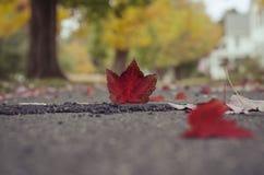 秋天在地面的红槭叶子 库存照片