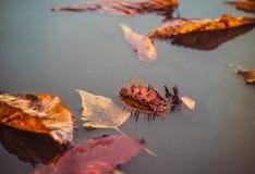 秋天在城市 水坑和栗子下落的叶子  免版税库存照片