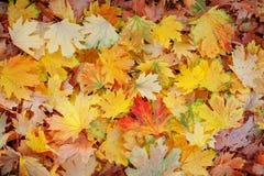秋天在完整色彩的槭树叶子 免版税图库摄影