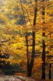 秋天在山毛举材软的焦点 库存图片