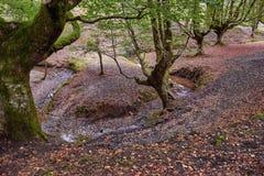 秋天在山毛榉森林里 库存图片