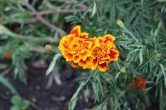 秋天在庭院里开花绽放 免版税库存照片