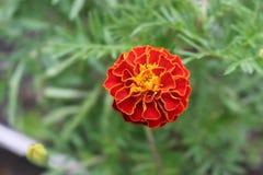 秋天在庭院里开花绽放 免版税图库摄影