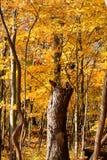 秋天在有树干的印第安纳森林在道路集中 库存图片