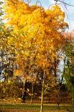 秋天在有金树的公园 免版税库存照片