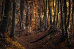 秋天在有su的,光一个金黄森林里 库存图片