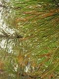 秋天在杉木针的露滴 免版税库存照片