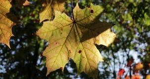 秋天在树的槭树叶子 股票录像