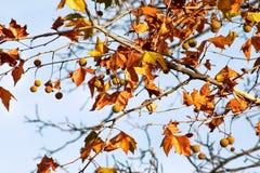 秋天在树离开,在天空的背景,关闭  在秋天季节的色的叶子 秋天晴天 免版税库存图片