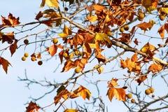 秋天在树离开,在天空的背景,关闭  在秋天季节的色的叶子 秋天晴天 库存图片