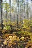 秋天在桦树森林里,美好的风景 免版税库存图片