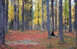 秋天在深北方针叶林森林,芬兰里 免版税图库摄影