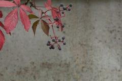 秋天在混凝土墙背景的弗吉尼亚爬行物 免版税库存照片