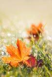 秋天在满地露水的草的槭树叶子 图库摄影
